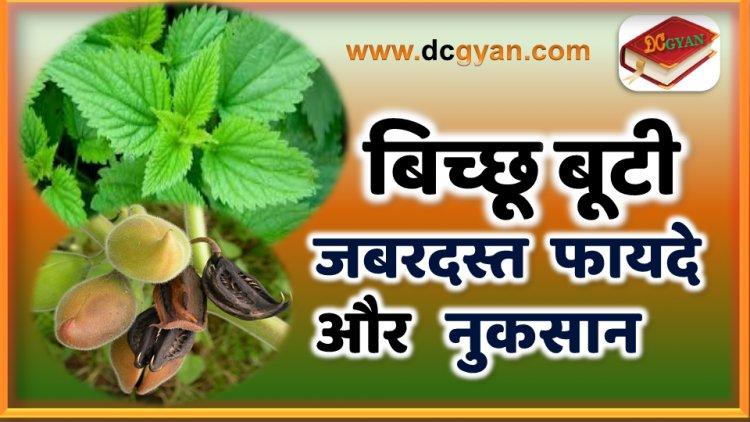 बिच्छू बूटी के फायदे और नुकसान | Bichu Buti ke fayde | health benefits of Bichu Buti in hindi